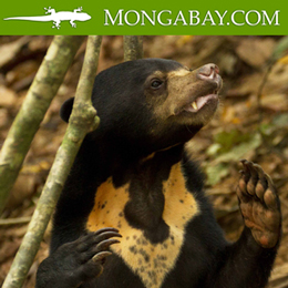 Sun bear in Mongabay news